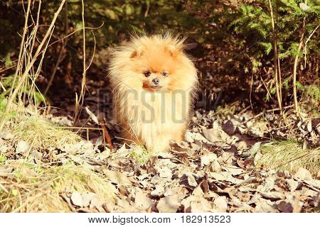 Cute pomeranian dog. Dog in the forest