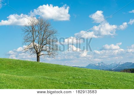 Solitary big bald tree standing alone on a hill in springtime. Blue sky with clouds and snow covered mountains in a rural countryside. Natural eco background for environment or season concept with copy space.