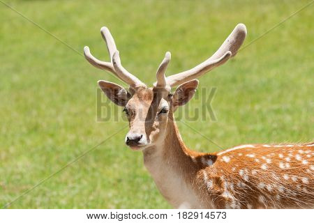 Fallow deer head and antlers against green background.