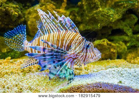 Red Lionfish Pterois Volitans . Wild Life Animal.