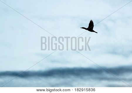 Double-Crested Cormorant Silhouetted in the Evening Sky As It Flies