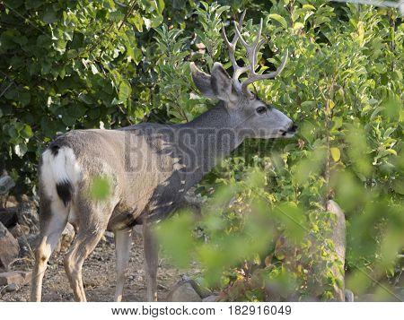 Three point mule deer buck browsing spring leaves