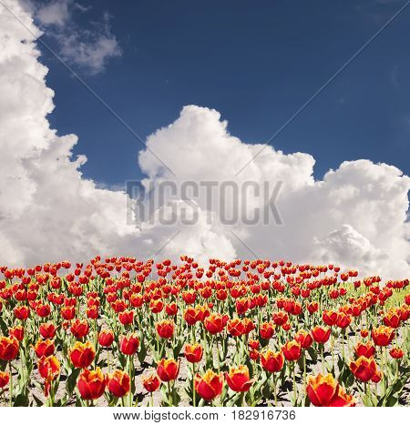 Rows of red fringed tulips against the blue sky with white clouds