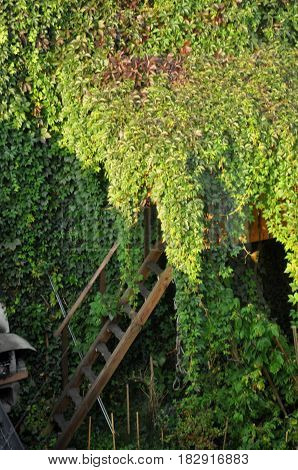 A dense, green wall of ivy everywhere.