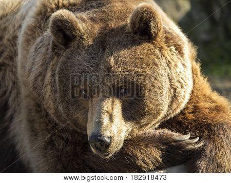 Brown bear carnivorous mammal of Eurasia and North America.