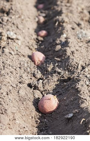 Planting potatoes on vegetable garden potato seeds in furrows on a potato field