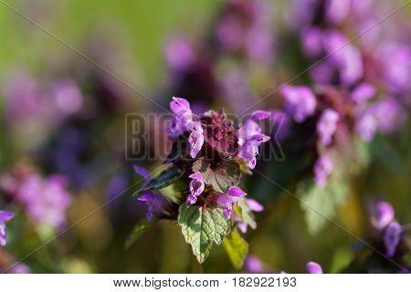 Flower of a purple dead nettle (Lamium purpureum)