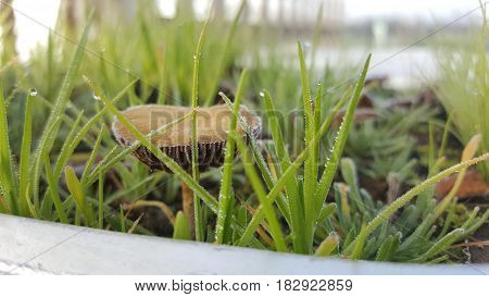 Closeup of grass and wild mushroom in winter