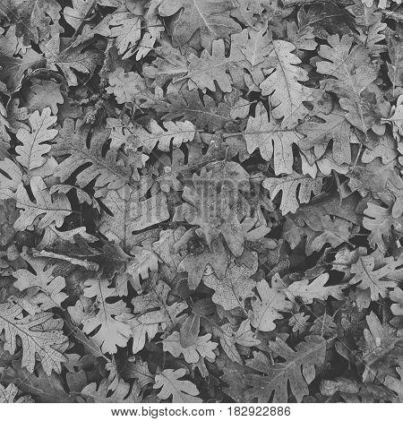 Fallen oak tree leaves in black and white