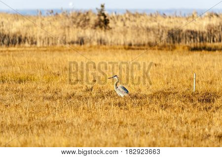 Great Blue Heron foraging in New England marsh