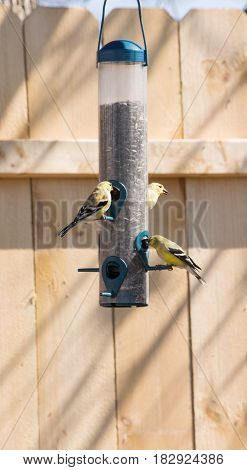 wild gold finches feeding at a feeder