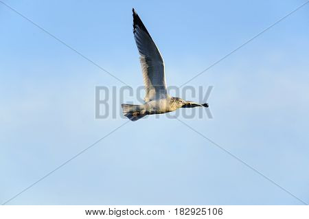 Ring-billed Gull one wing high in level flight