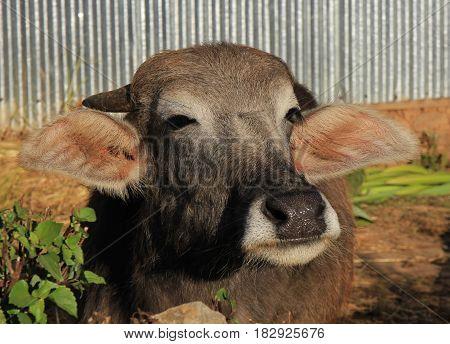 Head of a water buffalo baby in Nepal.