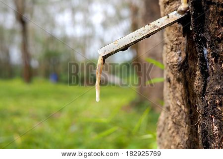 rubber dripping out of a rubber tree in a plantation
