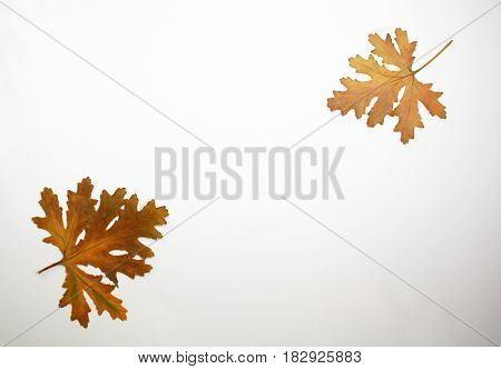 Two brown dry presses flat leaves in corners of white paper