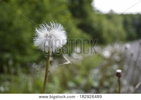 Close up of a dandelion seed transported by the wind lured background.