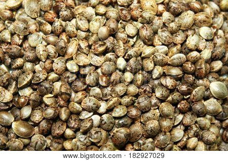 Marijuana cannabis seeds texture background or backdrop