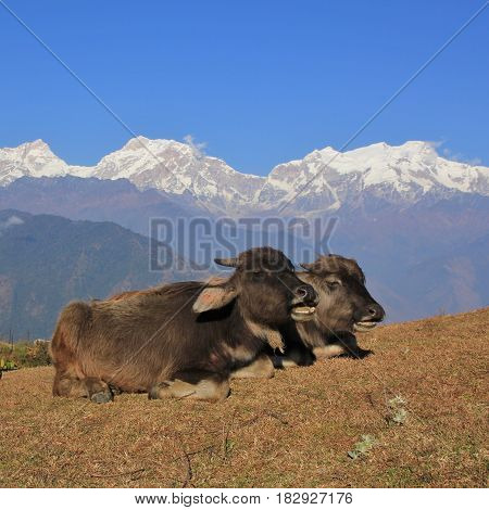 Water buffalo babies resting in Ghale Gaun Nepal. Snow capped Manaslu range.