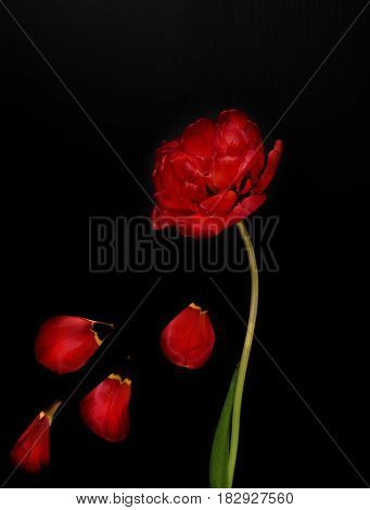 One red fluffy tulip with fallen petals on a black surface