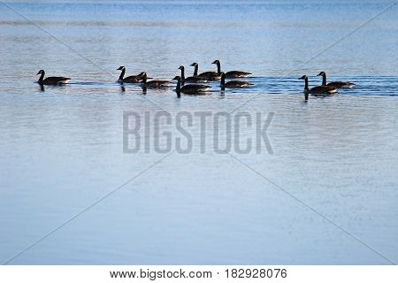 Flock of Canadian geese swimming together. Copy space.