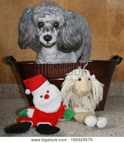 Silver poodle in bronze bucket showcasing favorite toys
