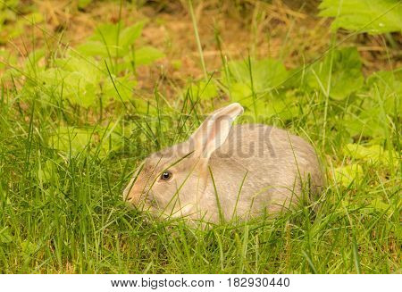 Cute wild bunny rabbit crouched in vibrant green grass