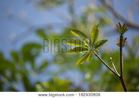 Close Up Young Leaf Of Blackboard Tree