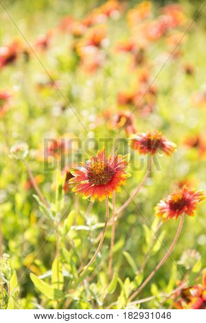 Bright red and yellow wild Blanket Flower blooming on a sunny meadow