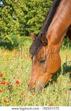 Closeup of a bay horse's head with red wild flowers