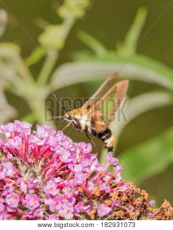 Snowberry Clearwing moth hovering and feeding on pink Buddleia blooms