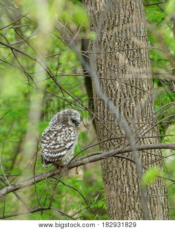 Baby hoot owl, barred owl, northern barred owl, perched on a tree branch. poster