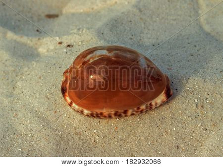 Specimen of sea snail Commonly known as: the blotched cowry or reticulated cowry photographed at Clearwater Beach Florida.
