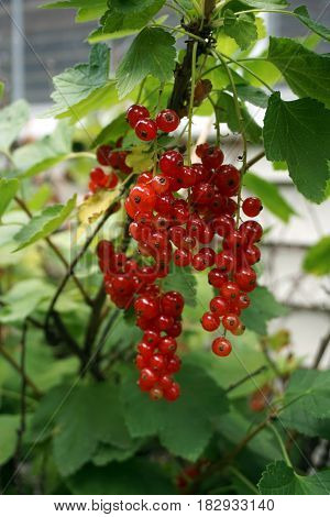 Clusters of ripe red currant fruits dangle on a red currant bush (Ribes rubrum), in a garden in Joliet, Illinois, during July.