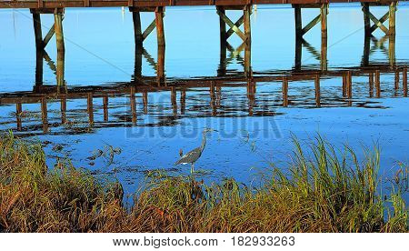 Great blue heron (ardea herodias) fishing near a pier