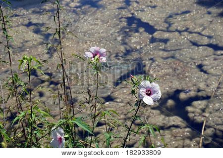 A Halberd-leaved rose mallow (Hibiscus laevis) blooms on the edge of a small lake in Joliet, Illinois during August.