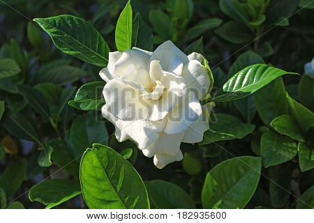 Gardenia flower in foreground surrounded by green leaves