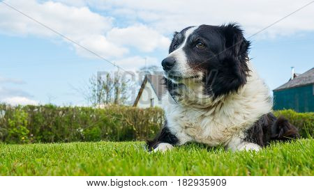 border collie dog at rural farm in Devon UK