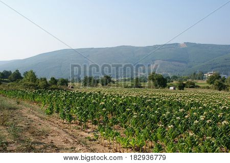Tobacco plants on a farm field. Agricultural