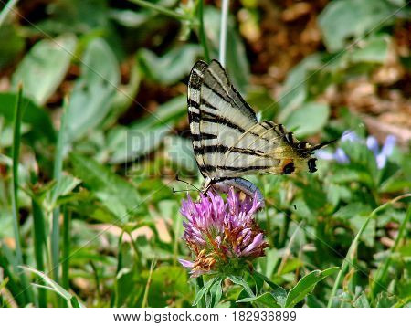 Beautiful butterfly Machaon (lat. Papilio machaon) on the clover flower. Summer, nature, meadow. Closeup. Low DOF photography.