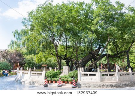 Shanxi, China -  Sept 11 2015: Styphnolobium Japonicum At Tanghuai Park. A Famous Historic Site In T