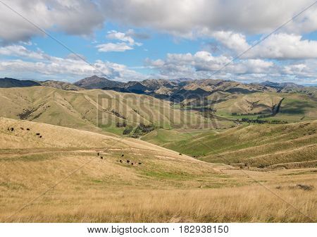 cows grazing on Wither Hills farmland in Marlborough, New Zealand