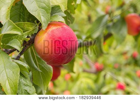 closeup of red plums ripening on plum tree