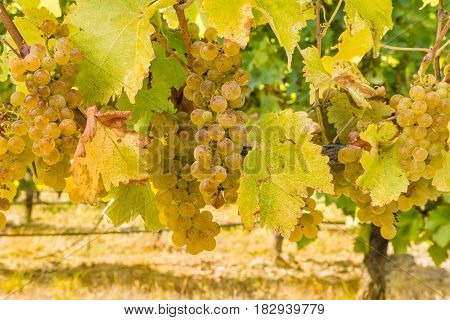 bunches of ripe Sauvignon Blanc grapes in vineyard
