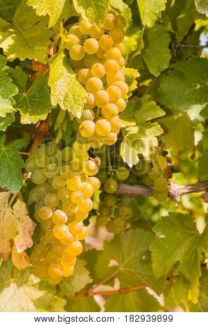 closeup of ripe white grapes on vine in vineyard