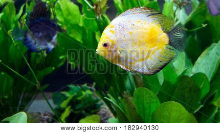 Amazon river basin Discus is most beautiful tropical fresh water fish Cichlid family