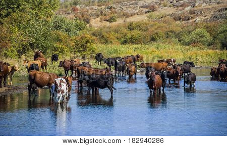 group of cows grazing at the small river