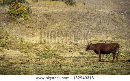 one brown cow grazing at the field