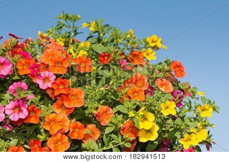 Closeup of colorful Calibrachoa flowers with blue sky background