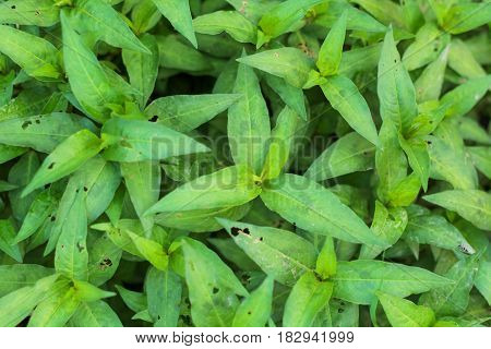 Fresh Vietnamese coriander plant growth in vegetable garden