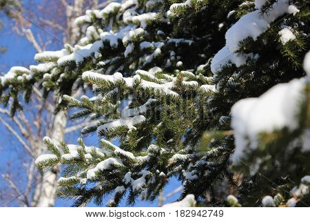 The branches of the fir trees in the snow